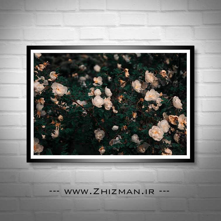 عکس گل سفید - گل نسترن سفید