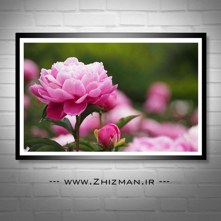 عکس گل صد تومانی صورتی
