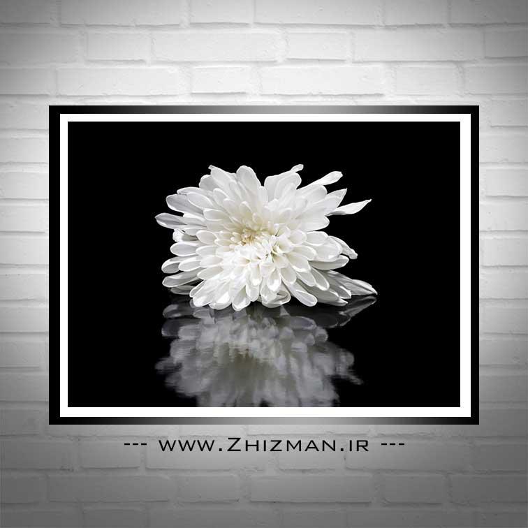 عکس گل داوودی سفید