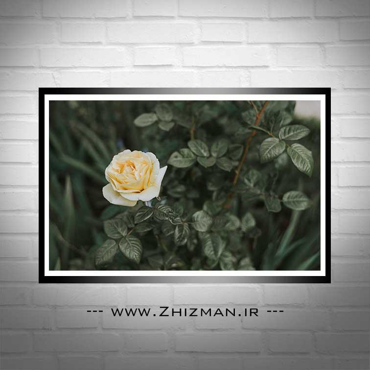 عکس تک شاخه گل رز نباتی