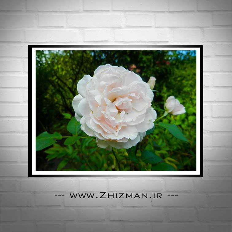 عکس شاخه گل محمدی