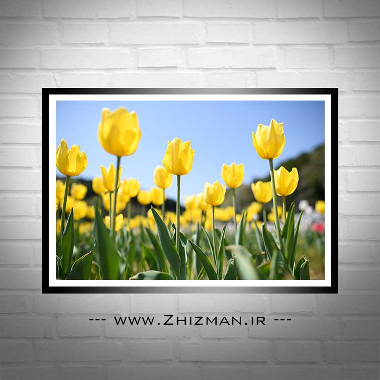 دشت گل لاله زرد