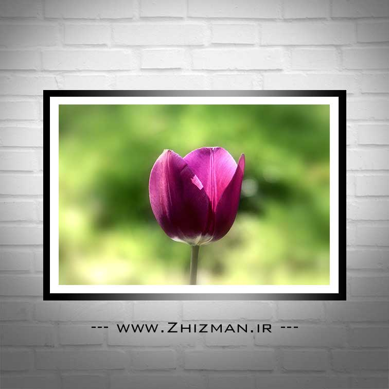 گل لاله صورتی